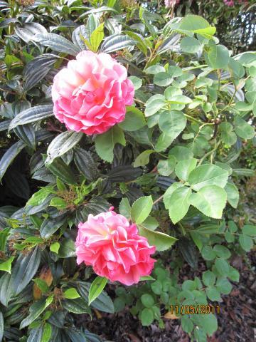 rosa lillian austin graphic at east-west-algarve.com