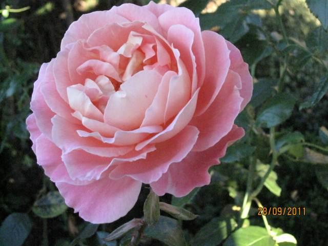 Rose Audrey Wicox Photograph sales