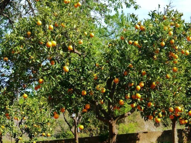 Orange Trees Tavira Conceicao East Algarve