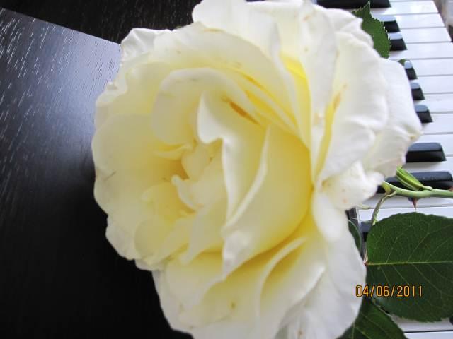 ALGARVE PLANTS ROSE TYNWALD