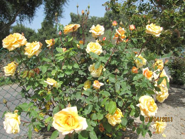 THE YELLOW ROSE OF PORTUGAL ALGARVE