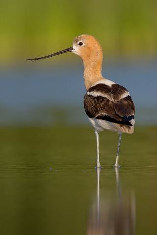 Avocet in the East Algarve,Portugal