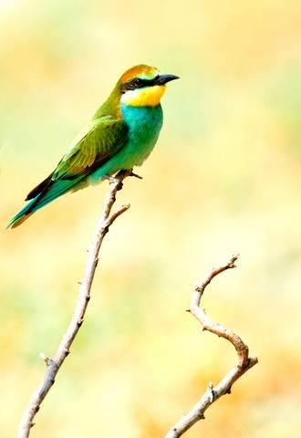 ALGARVE ORNITHOLOGY ,BIRDWATCHING