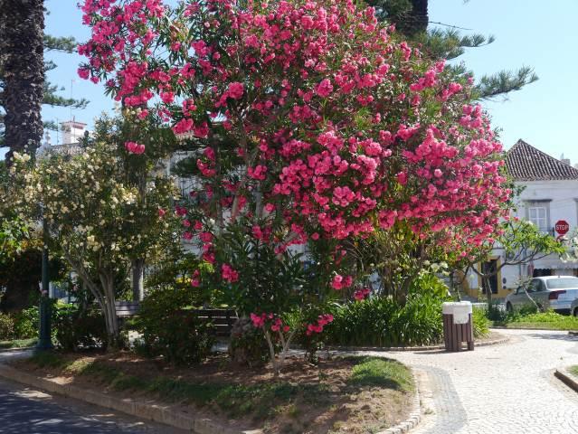 OLEANDER PLANT IN TAVIRA,ALGARVE PORTUGAL