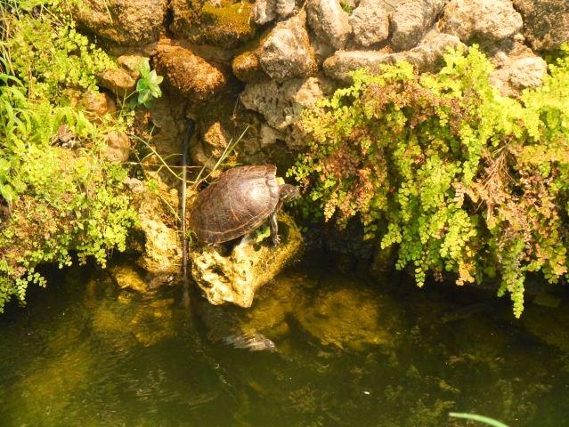 Tavira bandstand tortoise inhabitant.Algarve,Portugal