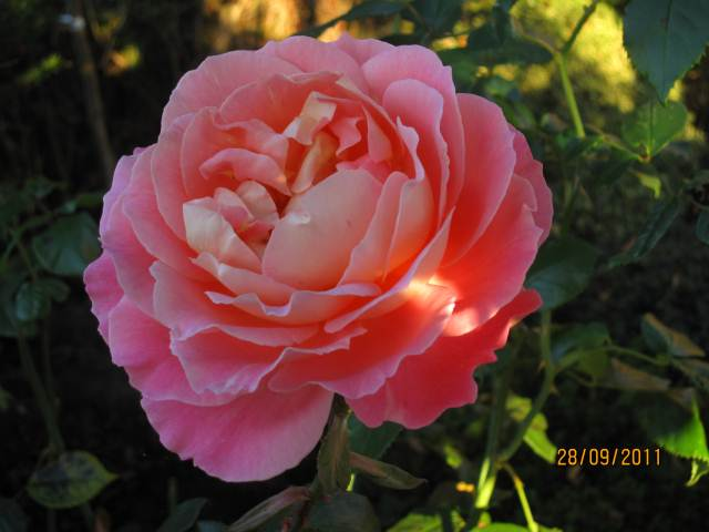 Algarve gardens rose photograph for sale