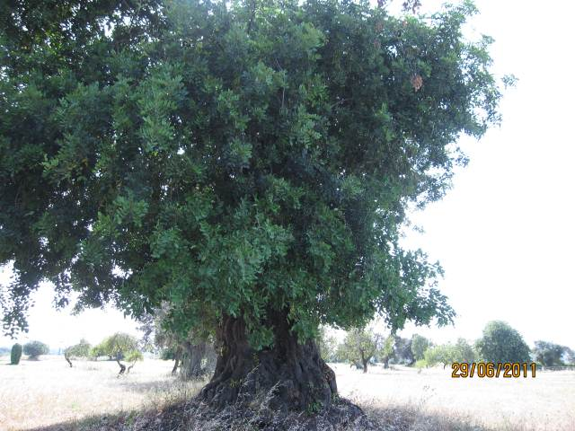 Olive tree on Benamor Golf Course in Cabanas
