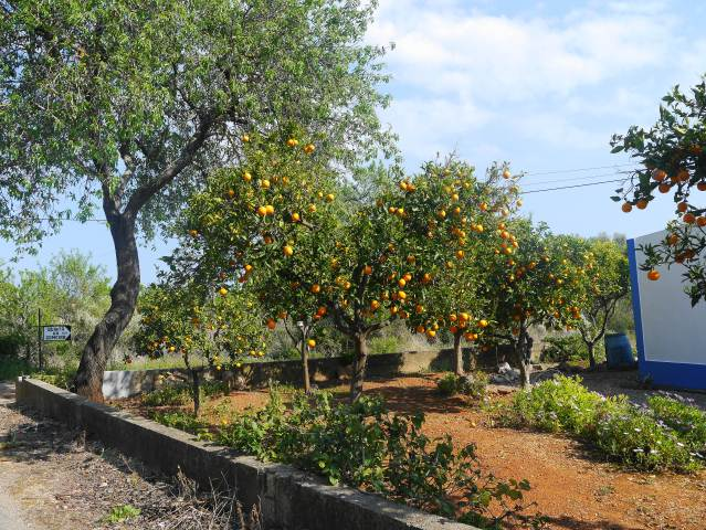 ORANGE TREES IN CONCEICAO DE TAVIRA.CABANAS ALGARVE