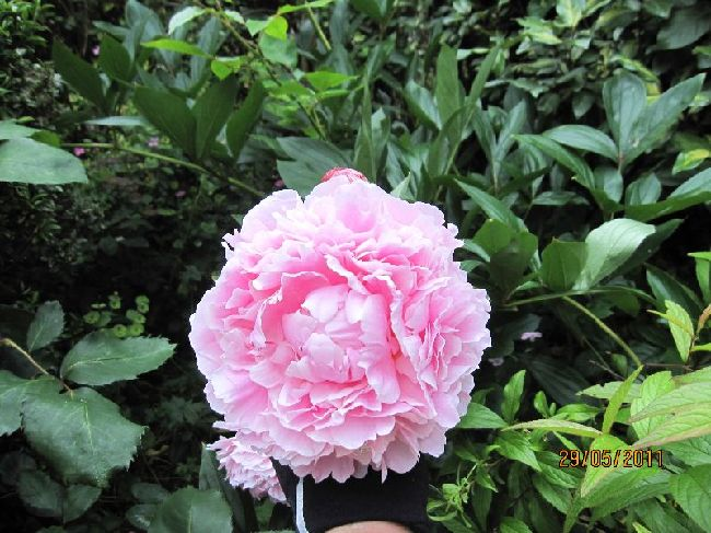 Paeony SARAH BERHARDT.Photograph by east-west-algarve
