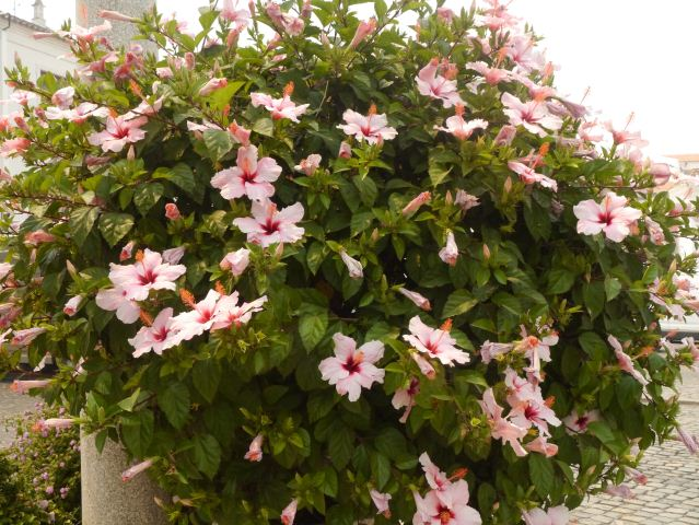 Hibiscus flowerers in Tavira East Algarve Portugal