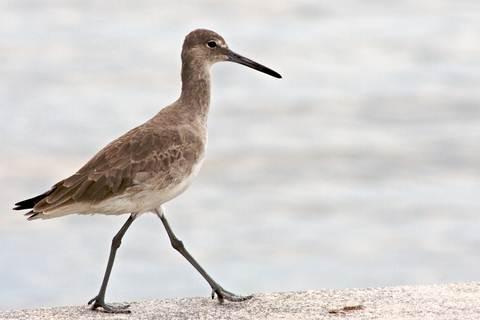 Algarve Ornithology a Sadnpiper